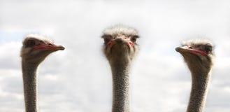 Três ostrichs foto de stock