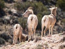 Três ovelhas dos carneiros de Bighorn que enfrentam afastado Imagem de Stock