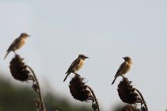 Três pássaros em um campo do girassol Imagens de Stock