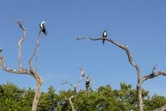 Três pássaros empoleirados em árvores Fotos de Stock Royalty Free