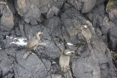 Três pássaros nas rochas Foto de Stock