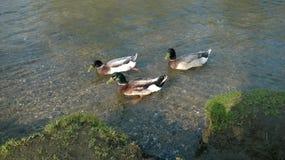 Três pássaros pequenos Fotografia de Stock Royalty Free