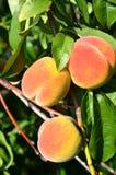 Três pêssegos maduros Fotos de Stock Royalty Free