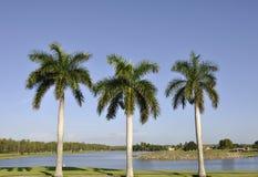 Três palmeiras Fotos de Stock