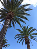 Três palmeiras Imagem de Stock