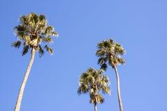 Três palmeiras altas contra o céu azul brilhante Fotografia de Stock