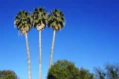 Três palmeiras altas mostradas em silhueta contra um céu azul brilhante Imagens de Stock Royalty Free