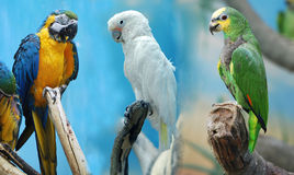 Três papagaios Fotos de Stock Royalty Free