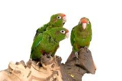 Três parakeets empoleirados   Foto de Stock