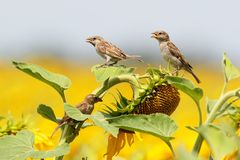 Três pardais no girassol Foto de Stock