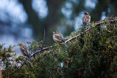 Três pardais sentam-se em um ramo de árvore fotografia de stock royalty free