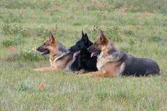 Três pastores alemães de colocação Fotografia de Stock Royalty Free