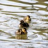 Três patinhos pequenos do pato selvagem Fotos de Stock