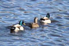 Três patos Fotografia de Stock