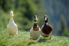 Três patos gingando do pato selvagem no prado foto de stock royalty free