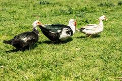 Três patos na grama durante um dia ensolarado foto de stock