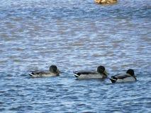 Três patos nadadores do pato selvagem fotografia de stock royalty free
