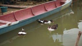 Três patos que nadam no cirle perto do barco velho filme
