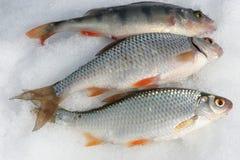 Três peixes de travamento na neve Fotografia de Stock Royalty Free