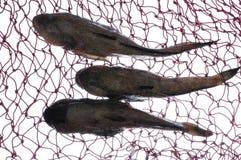Três peixes do góbio imagens de stock royalty free