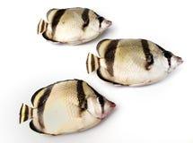 Três peixes tropicais Imagens de Stock