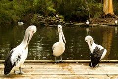 Três pelicanos Fotos de Stock
