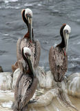Três pelicanos Fotos de Stock Royalty Free