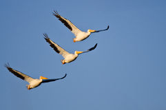 Três pelicanos brancos americanos que voam em um céu azul Imagem de Stock Royalty Free