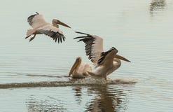 Três pelicanos brancos na superfície da água Foto de Stock