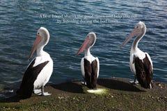 Três pelicanos com um provérbio positivo foto de stock