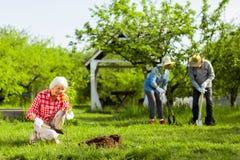 Três pensionista que amam a natureza que planta árvores no jardim fotografia de stock