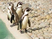 Três pinguins Imagens de Stock
