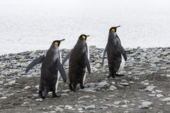 Três pinguins de rei correm em seguido sobre o Pebble Beach na baía de Fortuna, Geórgia sul, a Antártica imagem de stock royalty free