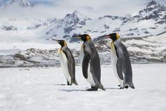 Três pinguins de rei na neve na ilha de Geórgia sul fotografia de stock royalty free