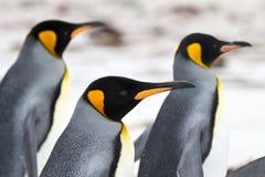 Três pinguins de rei que andam no close up da praia Imagens de Stock