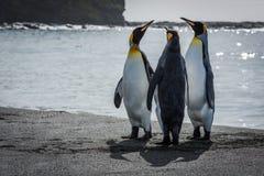 Três pinguins de rei que esticam os pescoços na praia Imagens de Stock