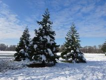 Três pinheiros novos no meio do esclarecimento da floresta Fotografia de Stock Royalty Free