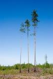 Três pinhos Imagem de Stock