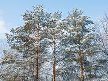 Três pinhos na neve Fotos de Stock