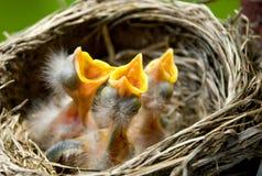 Três piscos de peito vermelho do bebê em um ninho