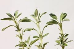 Três plantas prudentes (do salvia) imagens de stock royalty free