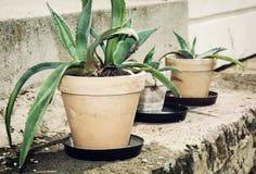 Três plantas suculentos em uns potenciômetros de flor Fotografia de Stock