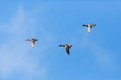 Três platyrhynchos que voam, nuvens dos anas dos patos do pato selvagem, SK azul Fotos de Stock Royalty Free