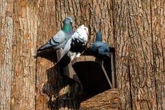 Três pombas Fotografia de Stock