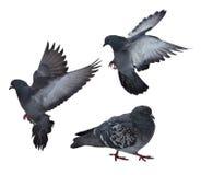 Três pombas escuras isoladas no branco Imagem de Stock Royalty Free