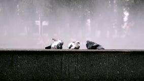 Três pombos em um fundo de espirrar a fonte vídeos de arquivo