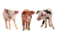 Três porcos fotografia de stock