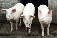 Três porcos Fotografia de Stock Royalty Free