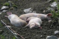 Três porcos do sono Imagens de Stock Royalty Free