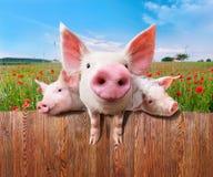 Três porcos encantadores da exploração agrícola maravilhosa imagens de stock royalty free